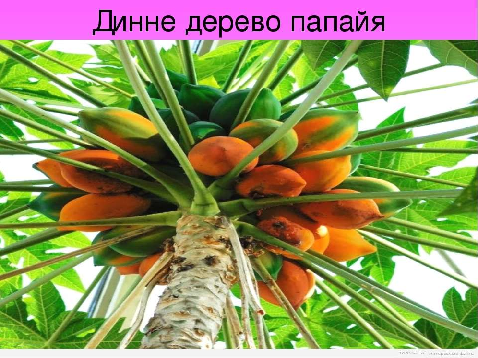 Динне дерево папайя