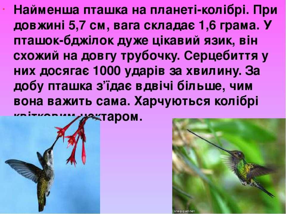 Найменша пташка на планеті-колібрі. При довжині 5,7 см, вага складає 1,6 грам...