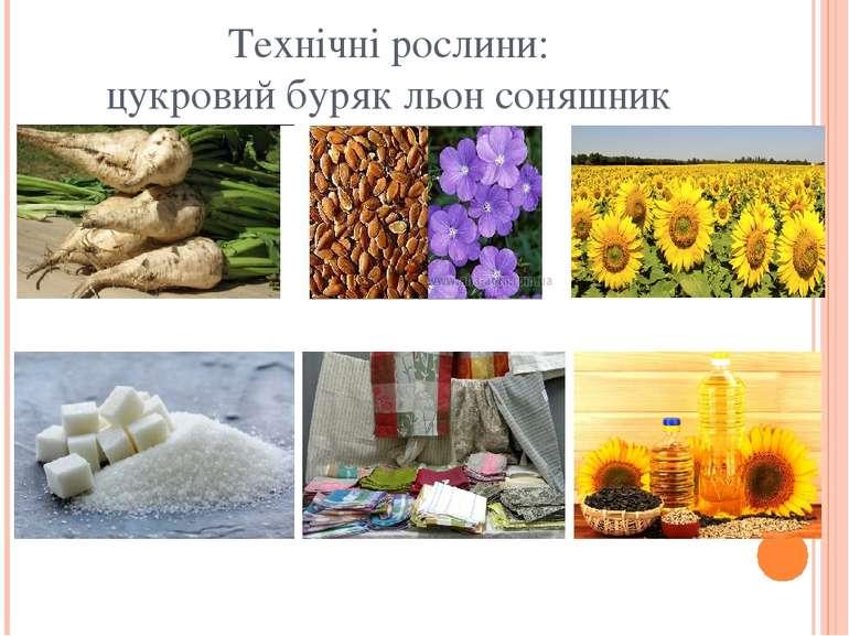 Технічні рослини: цукровий буряк льон соняшник