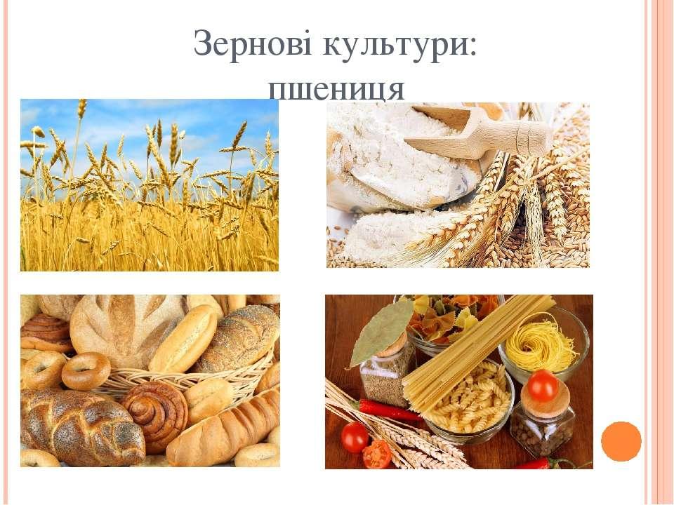 Зернові культури: пшениця