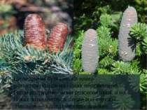 Циліндричні бурі шишки ялиці розташовуються на гілках вертикально. Після дозр...
