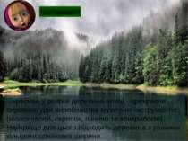 ...красива у розрізі деревина ялиці - прекрасна сировина для виробництва музи...