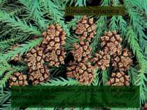 Шишики кіпариса На відміну від соснових, серед них є не тільки дерева, а й ку...