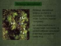 Ялівець звичайний можна зустріти в соснових та мішаних лісах Полісся, Карпат ...