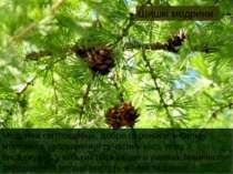 Шишкі модрини Модрина світлолюбна, добре переносить сильні морози та забрудне...