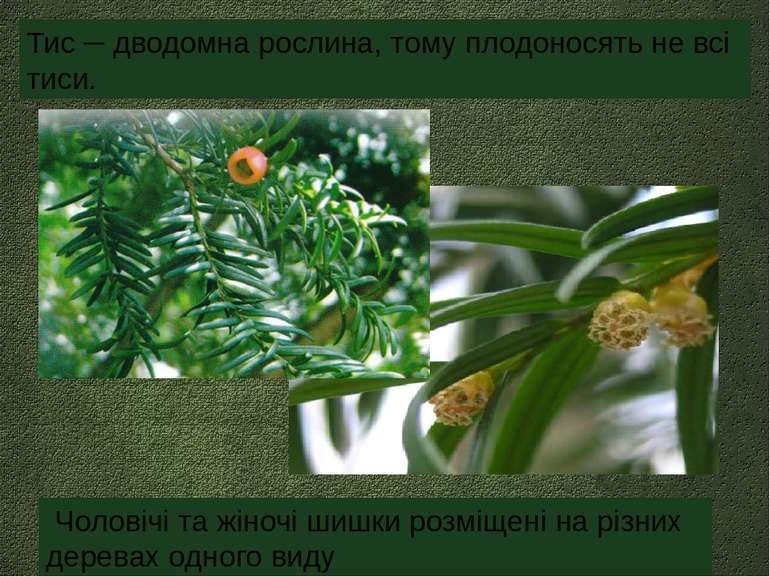 Тис ─ дводомна рослина, тому плодоносять не всі тиси. Чоловічі та жіночі шишк...