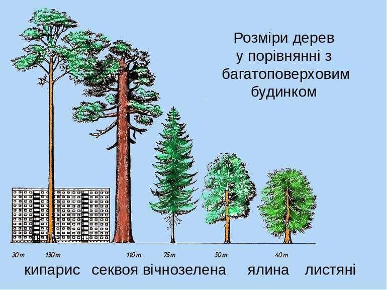 Розміри дерев у порівнянні з багатоповерховим будинком секвоя вічнозелена кип...