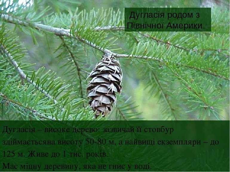 Дугласія родом з Північної Америки Дугласія – високе дерево: зазвичай її стов...