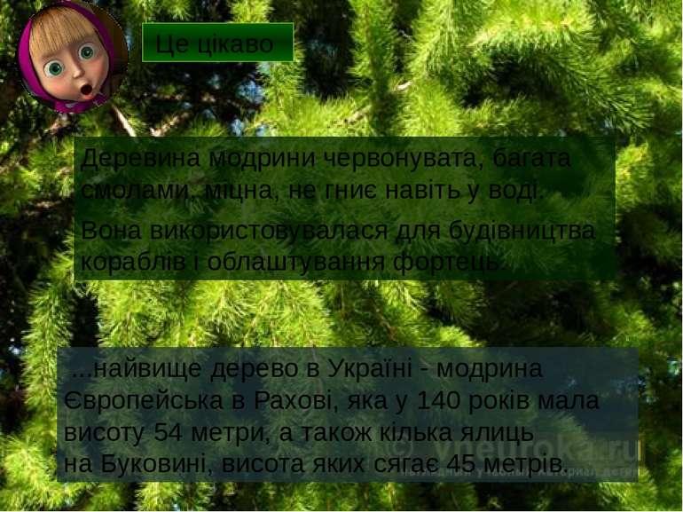 Деревина модрини червонувата, багата смолами, міцна, не гниє навіть у воді. В...