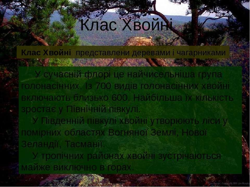 Клас Хвойні Клас Хвойні представлени деревами і чагарниками У сучасній флорі ...