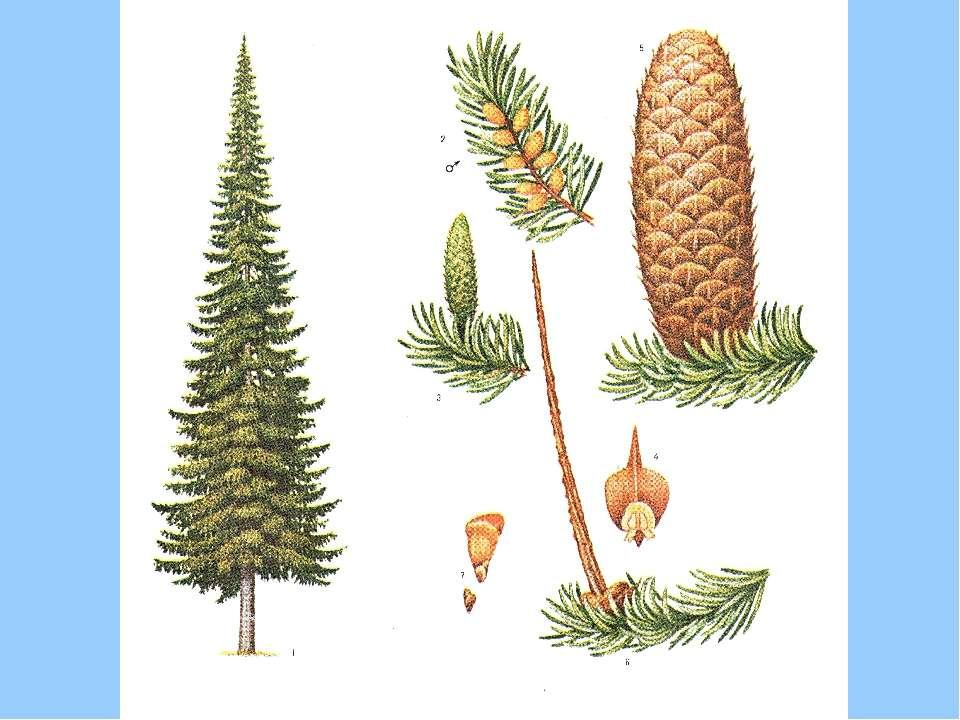 Зростає у хвойних і змішаних лісах Закарпаття й Карпат. Має вузькоконічну кро...