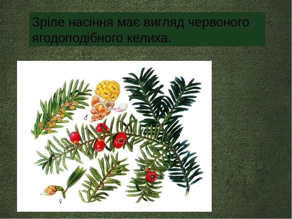 Зріле насіння має вигляд червоного ягодоподібного келиха.