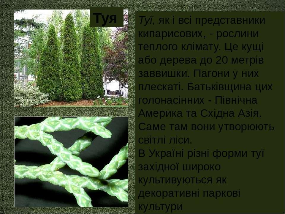 Туї, як і всі представники кипарисових, - рослини теплого клімату. Це кущі аб...