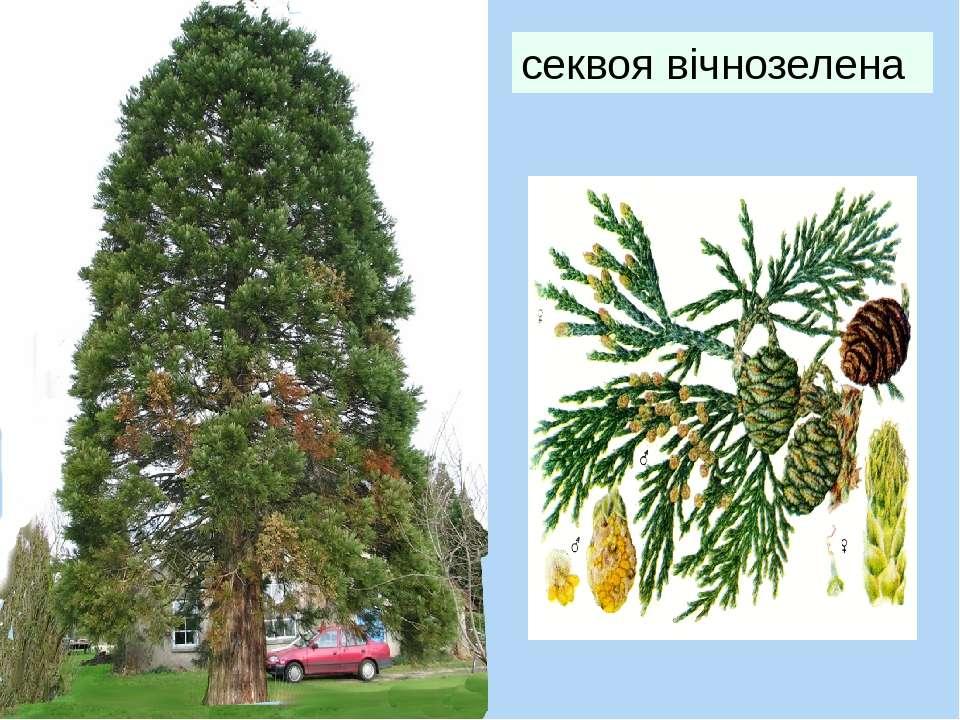 секвоя вічнозелена Найтовстіше в світі дерево: зазвичай стовбур має діаметр 6...