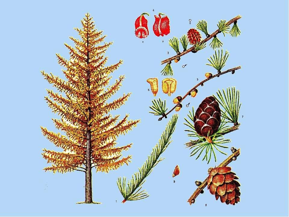 столов картинки лиственницы семена листья деятельность нашей компании