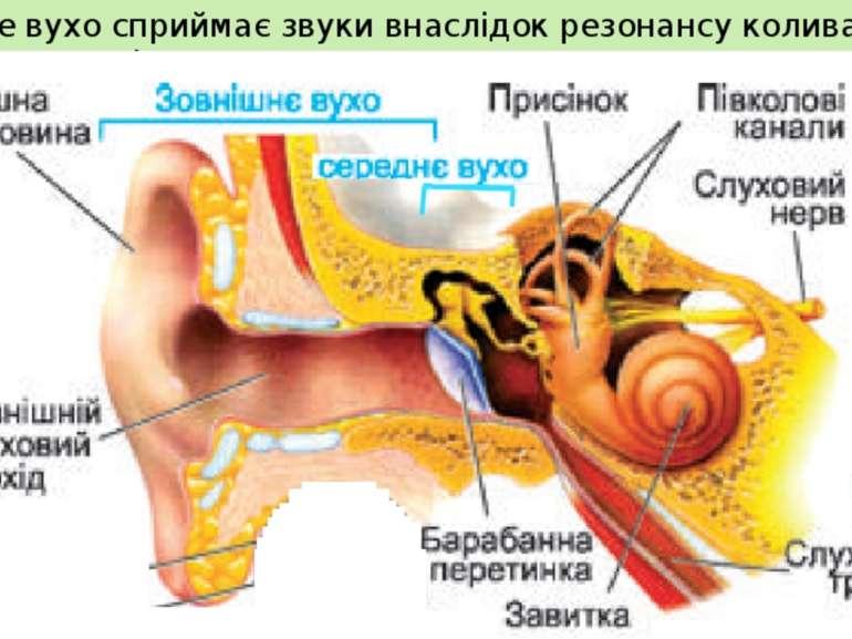 Людське вухо сприймає звуки внаслідок резонансу коливань у вушній раковині.