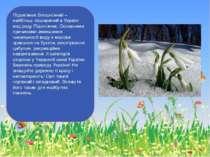 Підсніжник білосніжний – найбільш поширений в Україні вид роду Підсніжник. Ос...