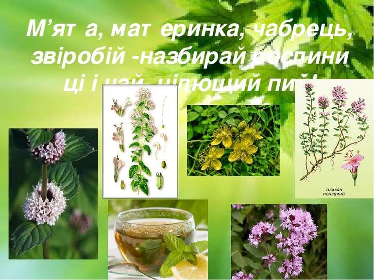 М'ята, материнка, чабрець, звіробій -назбирай рослини ці і чай цілющий пий!