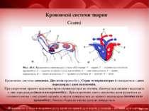 Кровоносні системи тварин Ссавці Кровоносна система замкнена. Два кола кровоо...