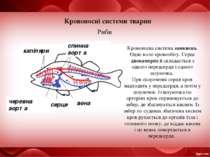 Кровоносні системи тварин Риби серце спинна аорта Кровоносна система замкнена...
