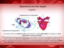 Кровоносні системи тварин Амфібії Серце Судини великого кола кровообігу Крово...