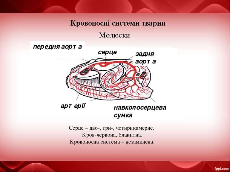 Кровоносні системи тварин Молюски серце задня аорта Серце – дво-, три-, чотир...