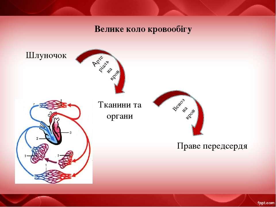 Велике коло кровообігу Шлуночок Тканини та органи Праве передсердя Артеріальн...