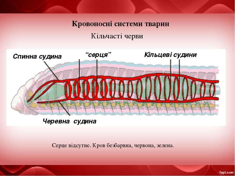 """Кровоносні системи тварин Кільчасті черви Спинна судина """"серця"""" Кільцеві суди..."""