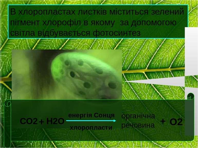 В хлоропластах листків міститься зелений пігмент хлорофіл в якому за допомого...