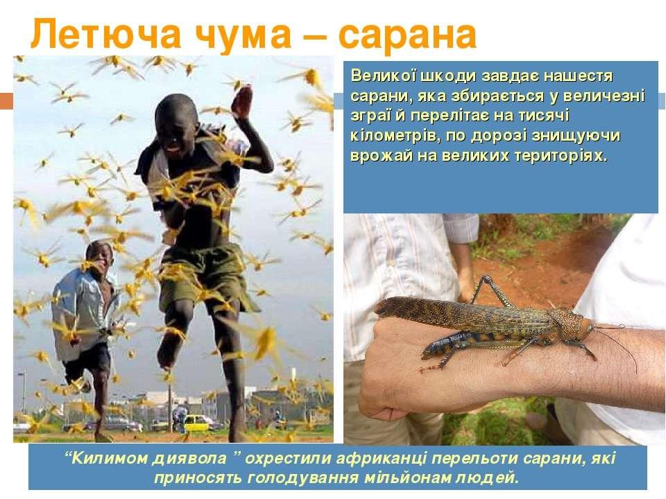 Летюча чума – сарана Великої шкоди завдає нашестя сарани, яка збирається у ве...