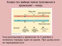 Кожен ген займає певне положення в хромосомі – локус. Гени розташовані у хром...