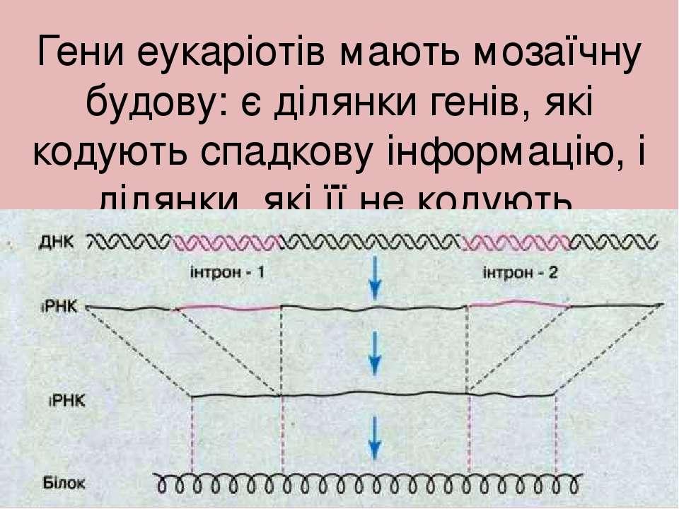 Гени еукаріотів мають мозаїчну будову: є ділянки генів, які кодують спадкову ...