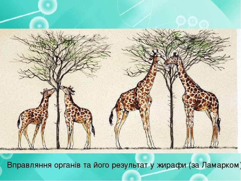 Вправляння органів та його результат у жирафи (за Ламарком)
