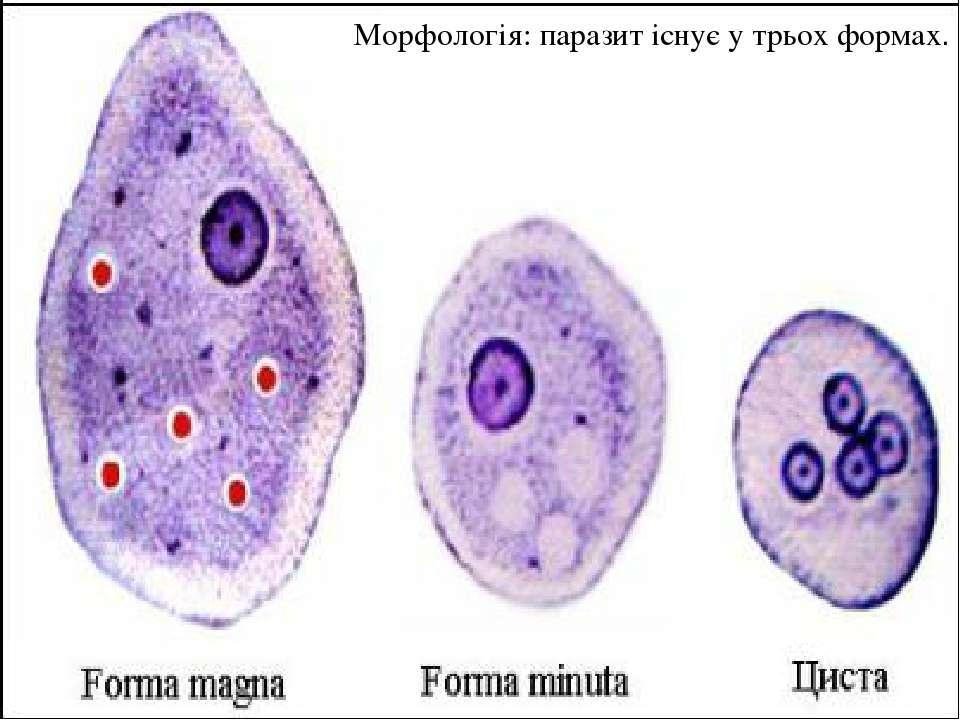 Морфологія: паразит існує у трьох формах.