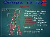 Хребет Складовими частинами хребта є хребці, їх 33-34. Відділів хребта - 5: -...