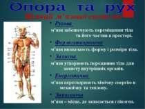 Рухова м'язи забезпечують переміщення тіла та його частин в просторі. Формоут...