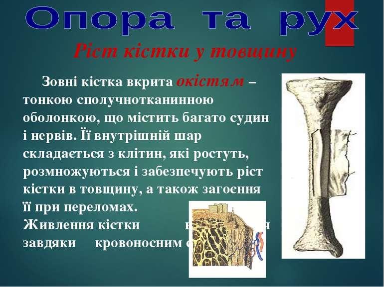 Ріст кістки у товщину Зовні кістка вкрита окістям – тонкою сполучнотканинною ...