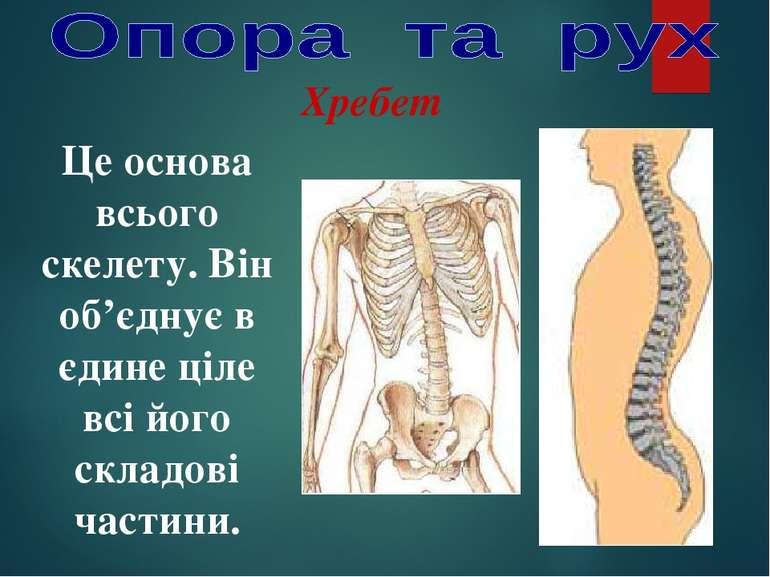 Хребет Це основа всього скелету. Він об'єднує в єдине ціле всі його складові ...