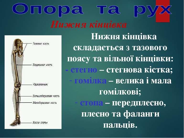 Нижня кінцівка Нижня кінцівка складається з тазового поясу та вільної кінцівк...