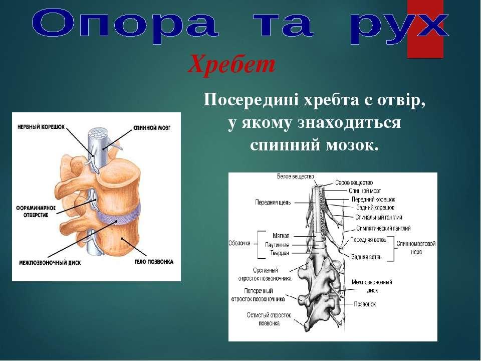 Посередині хребта є отвір, у якому знаходиться спинний мозок. Хребет