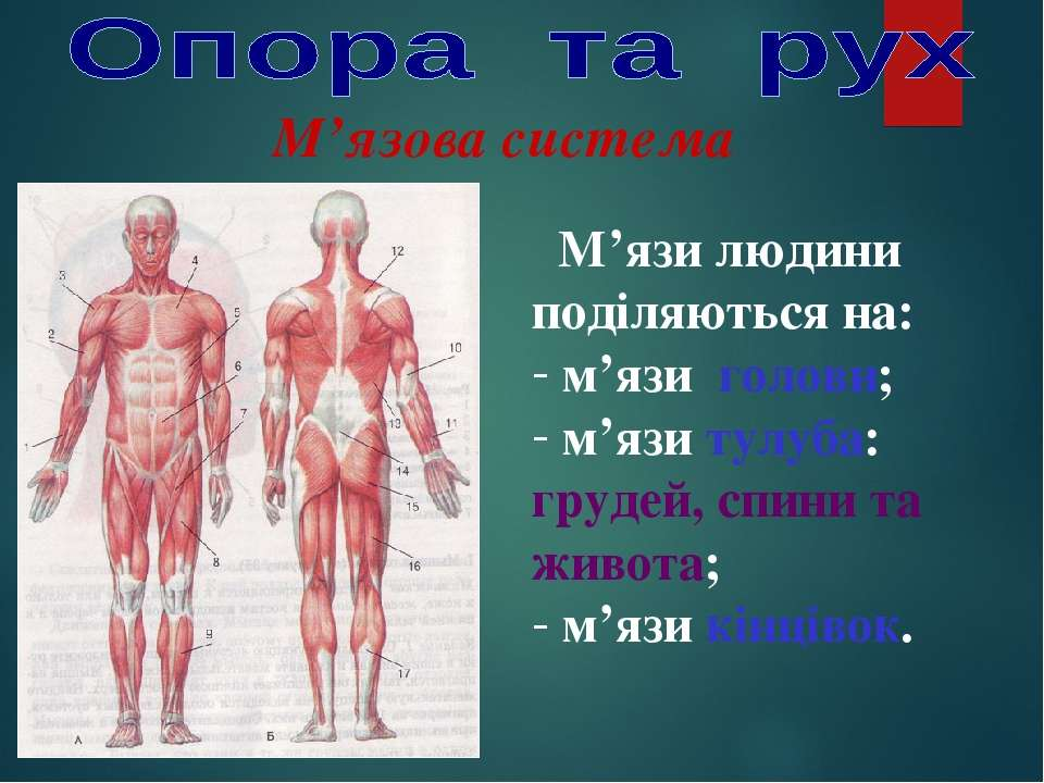 М'язова система М'язи людини поділяються на: м'язи голови; м'язи тулуба: груд...