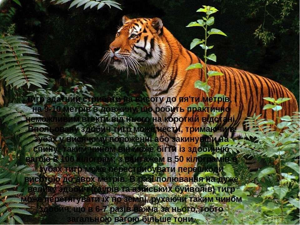 Тигр здатний стрибати на висоту до пя'ти метрів, і на 9-10 метрів в довжину, ...