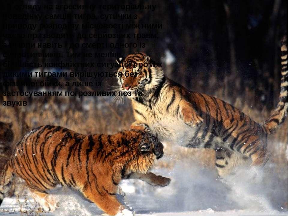 . З огляду на агресивну територіальну поведінку самців тигра, сутички з приво...