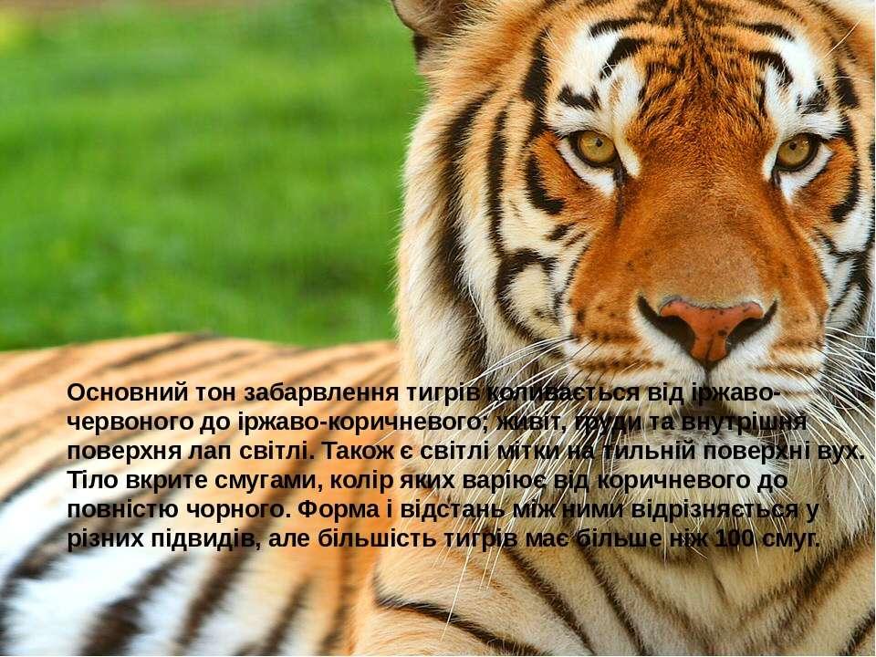 Основний тон забарвлення тигрів коливається від іржаво-червоного до іржаво-ко...