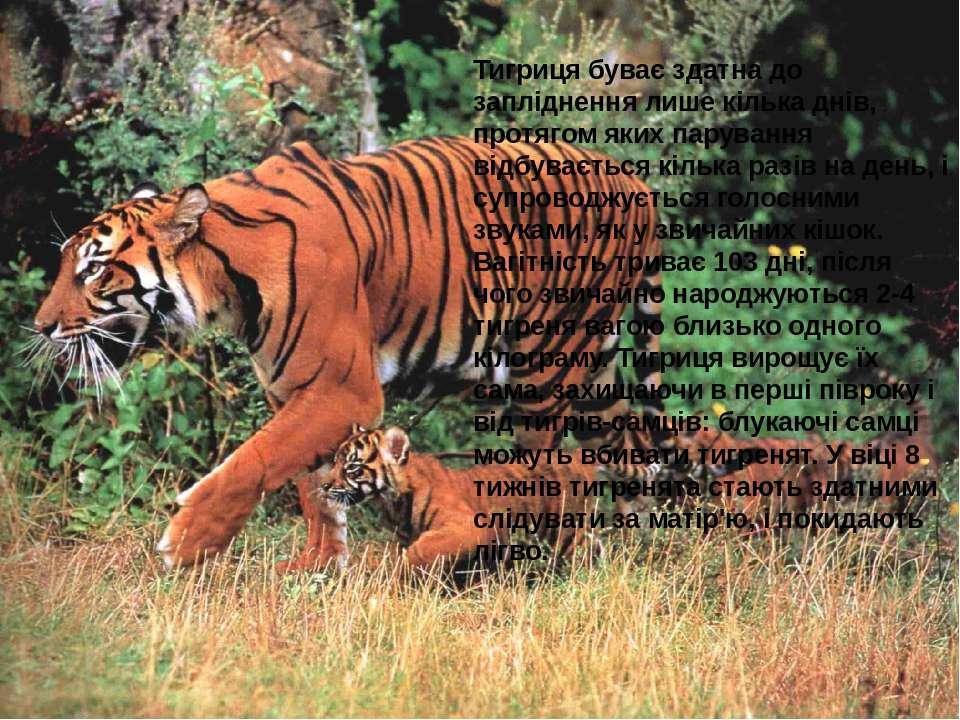 Тигриця буває здатна до запліднення лише кілька днів, протягом яких парування...