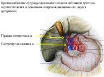 Кровоснабжение супрадуоденального отдела жёлчного протока осуществляется в ос...