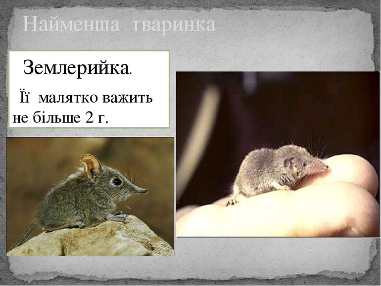 Найменша тваринка Землерийка. Її малятко важить не більше 2 г.