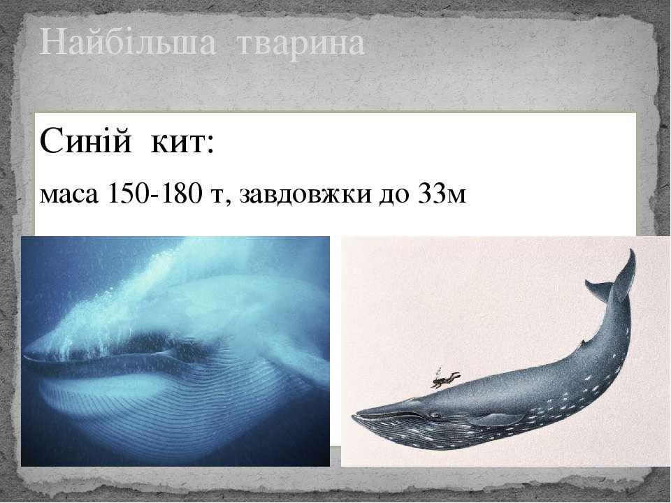 Синій кит: маса 150-180 т, завдовжки до 33м Найбільша тварина