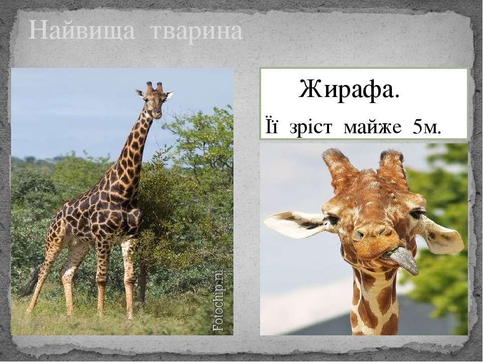 Найвища тварина Жирафа. Її зріст майже 5м.