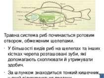 Травна система амфібій , як і риб, починається ротоглотковою порожниною, що п...